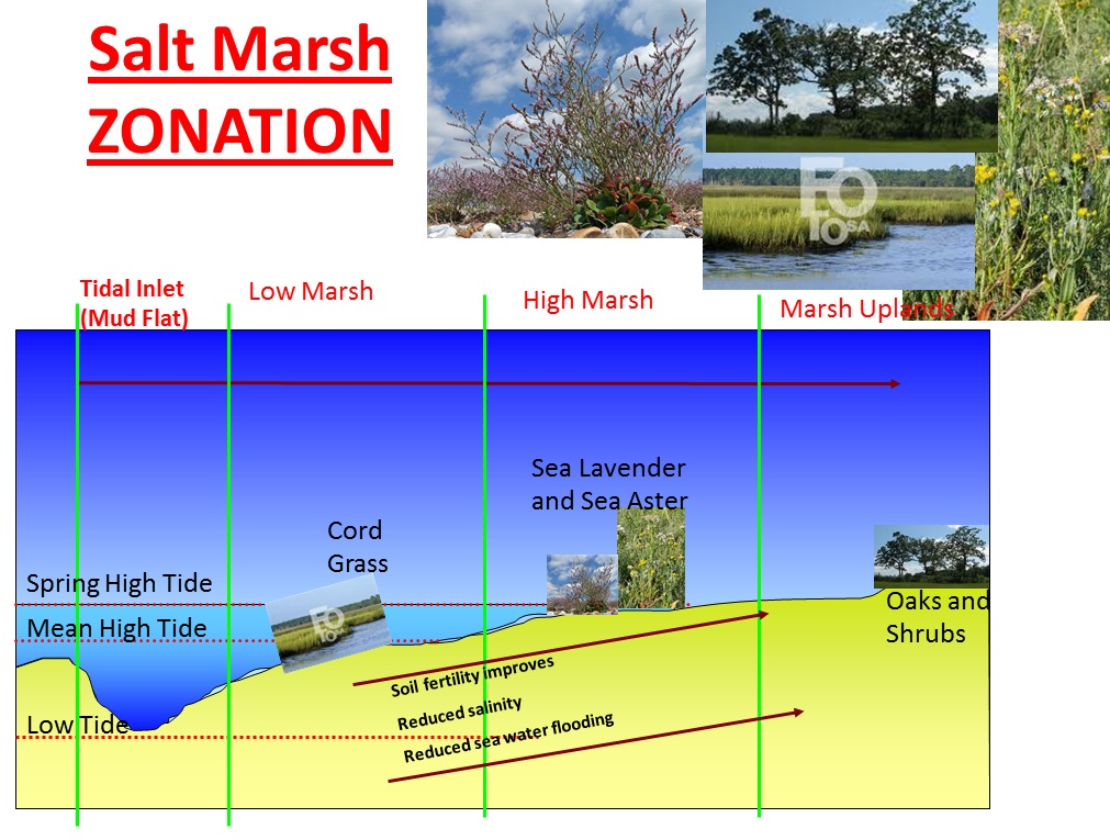 salt marsh ecosystem essay Coral reefs salt marshes mangroves  coral reefs essay  the coral reef ecosystem is an intricate and diverse collection of species that interact with.