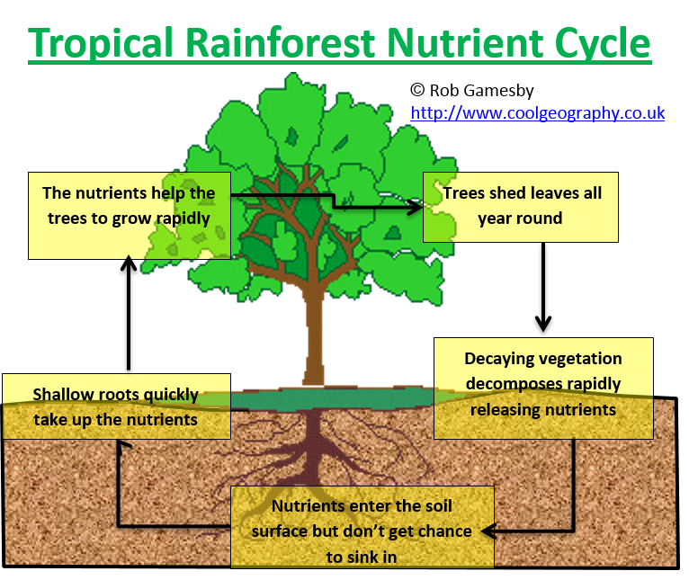 Rainforest Nutrient Cycling
