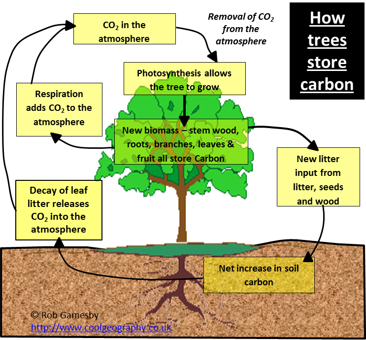 Trees in Carbon Cycle